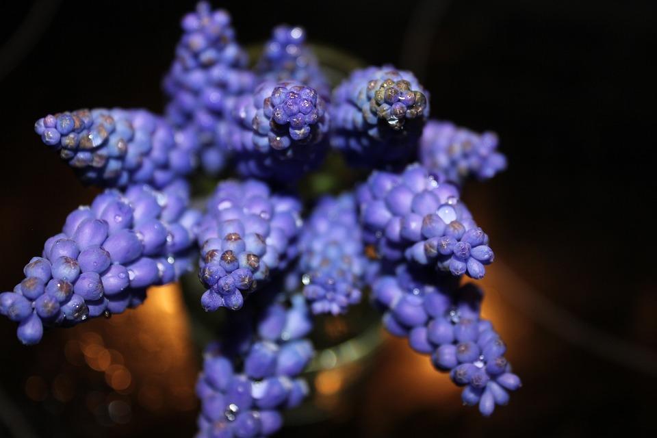 Modry, Flower, Blue, Nature, Purple Flowers, Plant