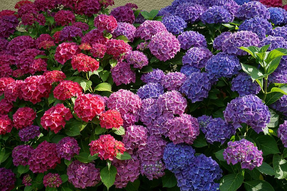 Flowers, Hydrangeas, Sun, Summer, Nature, Purple, Blue