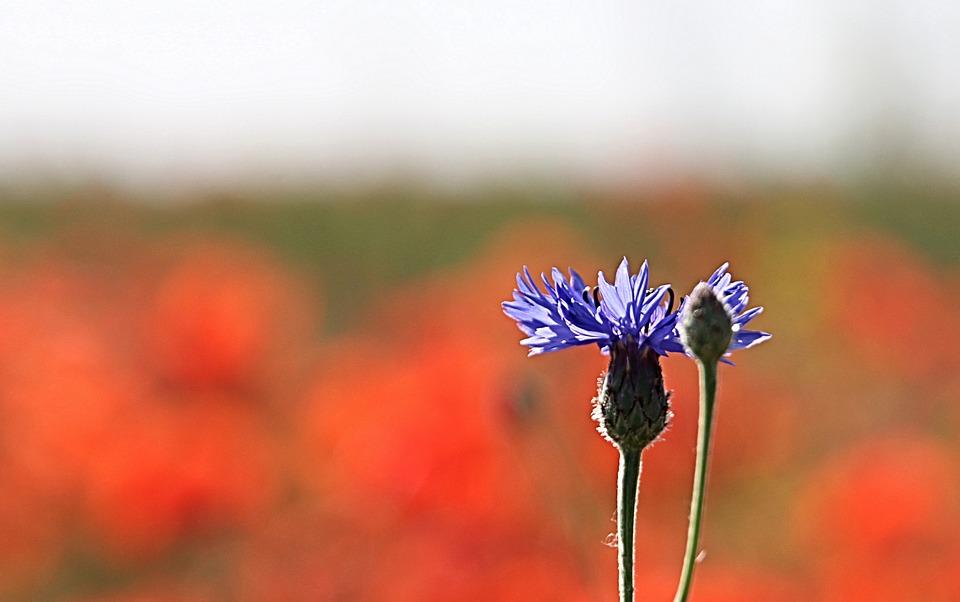 Cornflower, Bud, Blue, Out Of Focus, Stalk, Plant