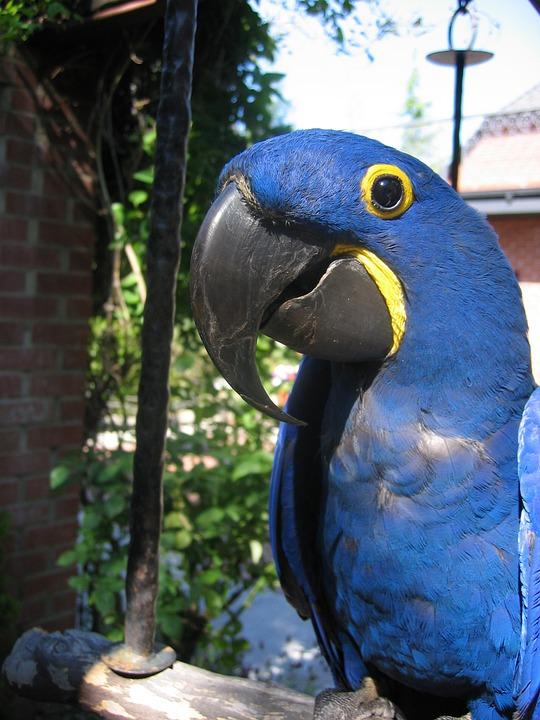 Blue, Parrot, Closeup