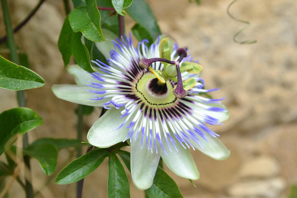 Blue Passionflower, Passion Flower, Flower, Nature