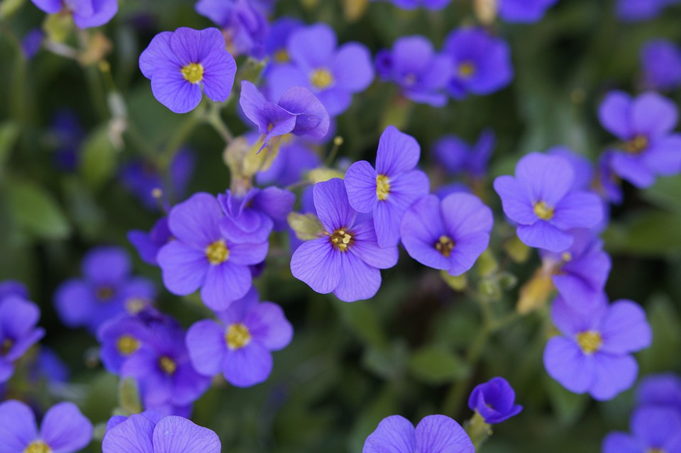 Blue Pillow, Bloom, Spring, Blütenmeer, Flowers, Purple