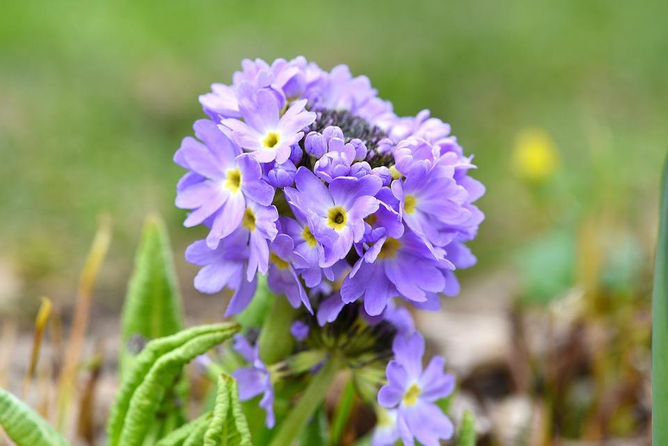 Primrose, Drumstick, Blue, Flowers, Flower, Plant