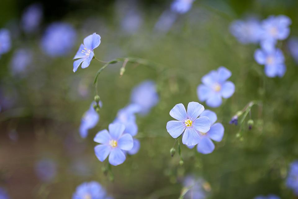 Flower, Blue, Summer, Plant, Garden Flowers