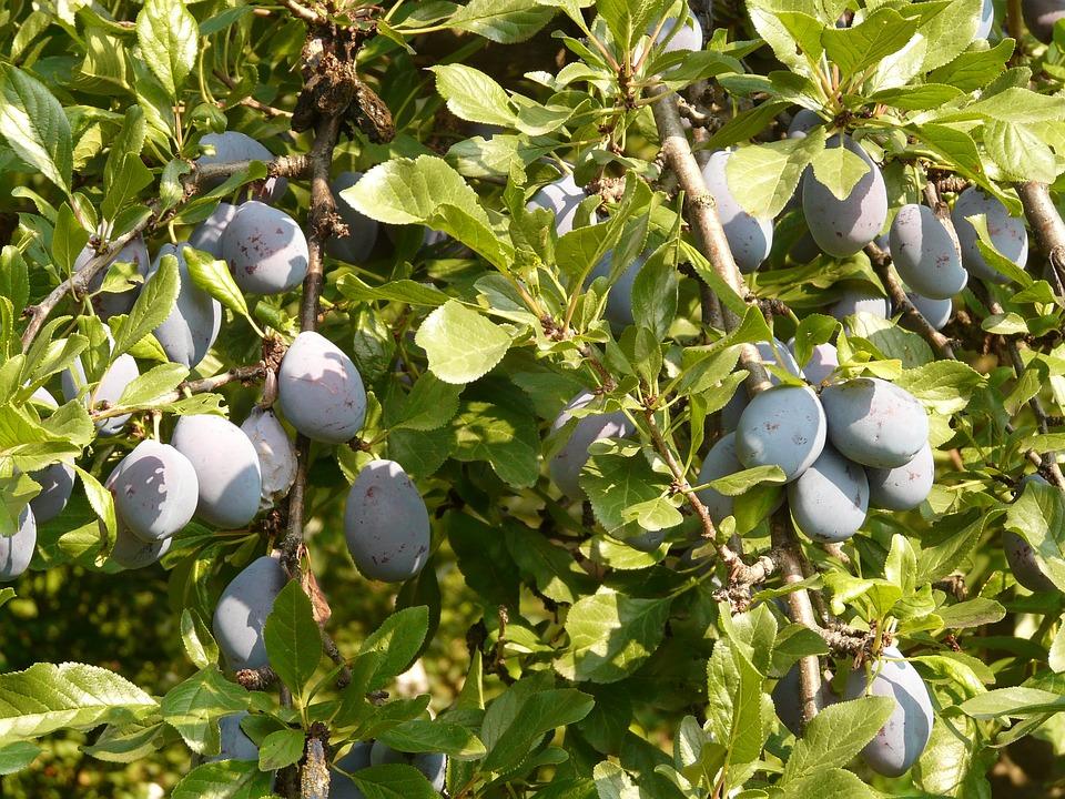 Plum, Fruit, Blue, Nature, Plant, Food, Eat
