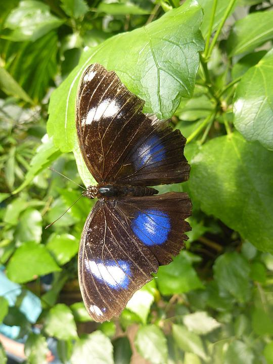 Butterfly, Blue Points, Insect, Blue
