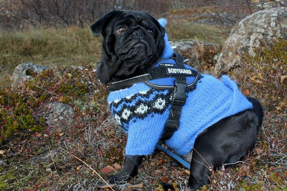 Top Pug Canine Adorable Dog - Blue-Pug-Cute-Dog-Canine-Clothing-Jacket-410982  Picture_757325  .jpg