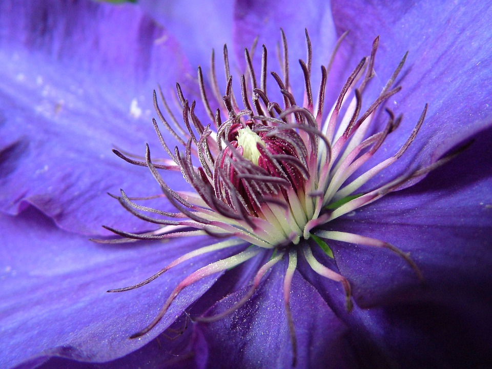 Blossom, Bloom, Clematis, Purple, Blue