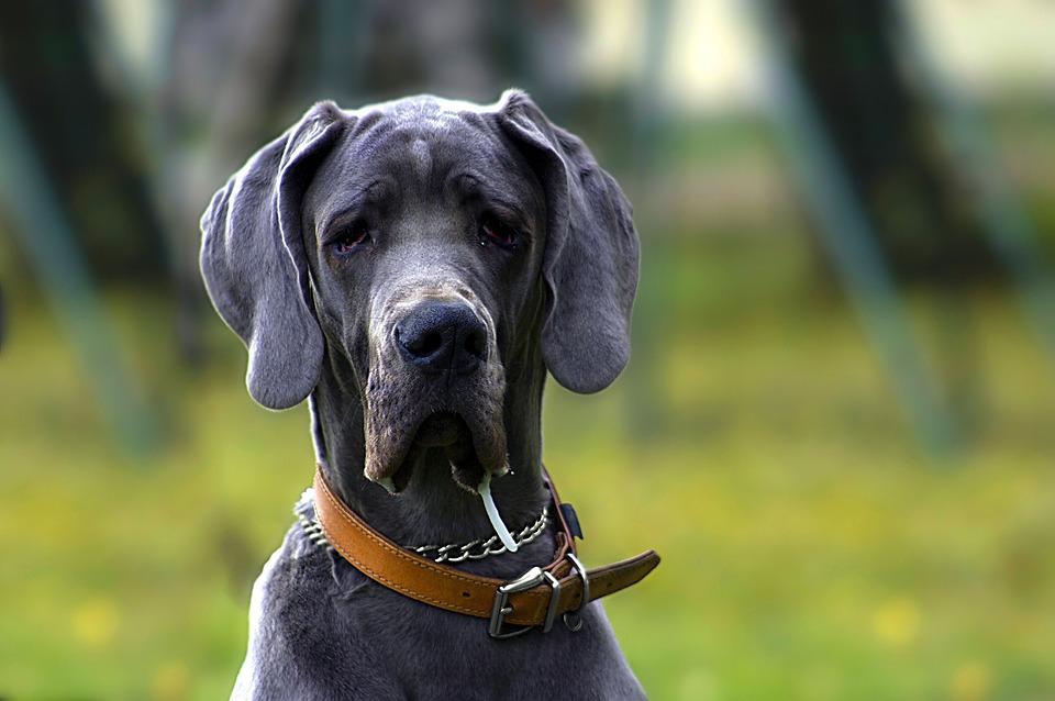 Dog, Black, Portrait, Animal, Blue, Rare, Big, Bitch