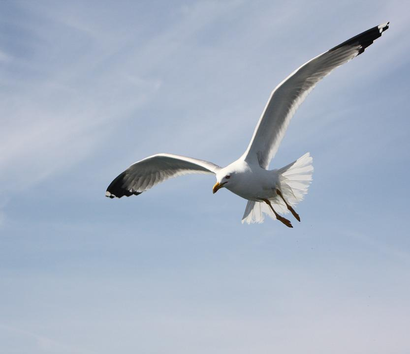 Seagull, Sky, Blue, Bird, Fly, Freedom, Nature