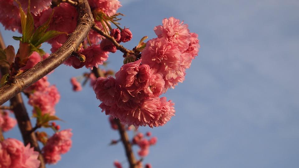 Blue Sky, Blossom, Pink, Nature, Spring, Tree