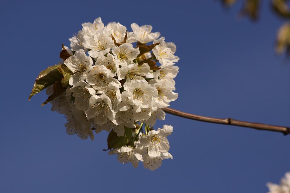 Cherry Branch, Spring, Flowers, Close, Blue Sky
