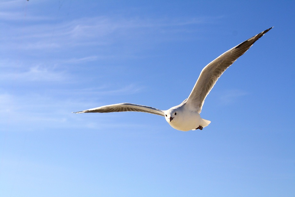 Gull, Sky, Blue, Flying, Clouds