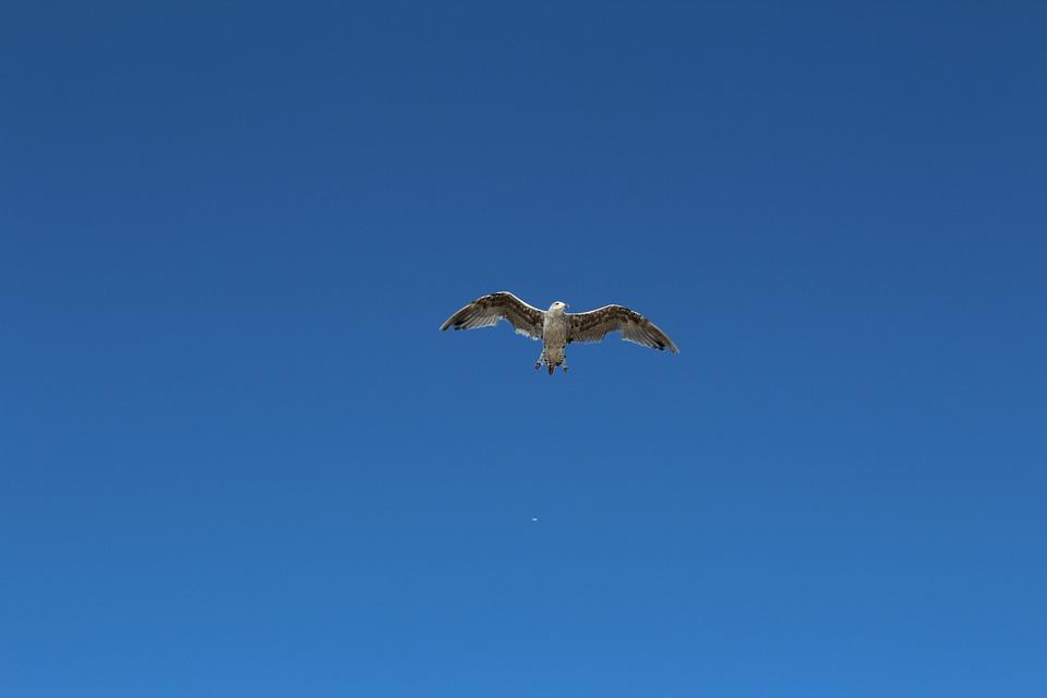 Birds, Nature, Blue Sky, Flight, Seagull