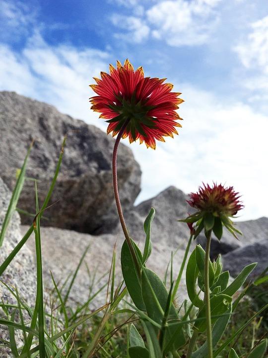 Flower, Nature, Flora, Summer, Field, Sky, Blue, Red