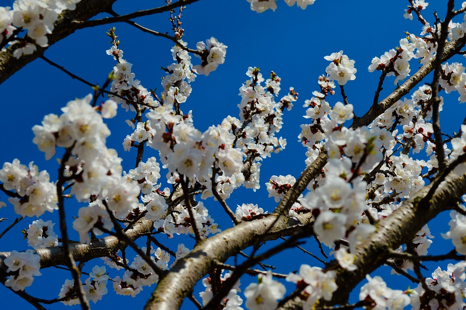 Tree, Cherry, Season, Flower, Apple, Blue Sky, Nature