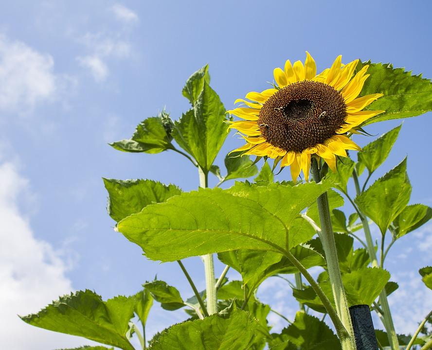 Sunflower, Summer, Nature, Yellow Flower, Blue Sky
