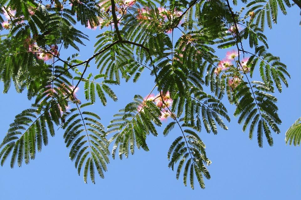 Silk Tree, Blue Sky, Wallpaper