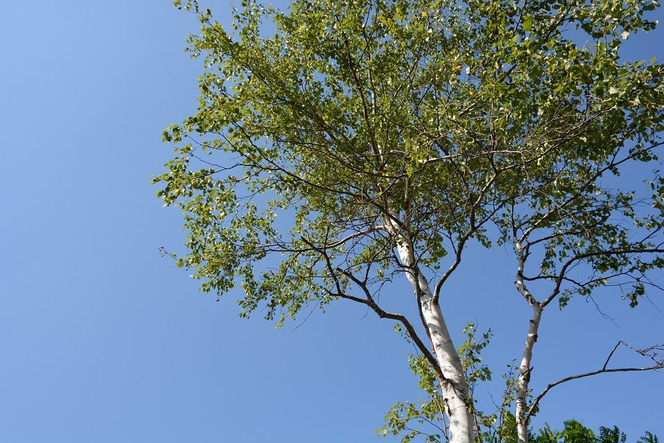 White Birch, Wood, Blue Sky