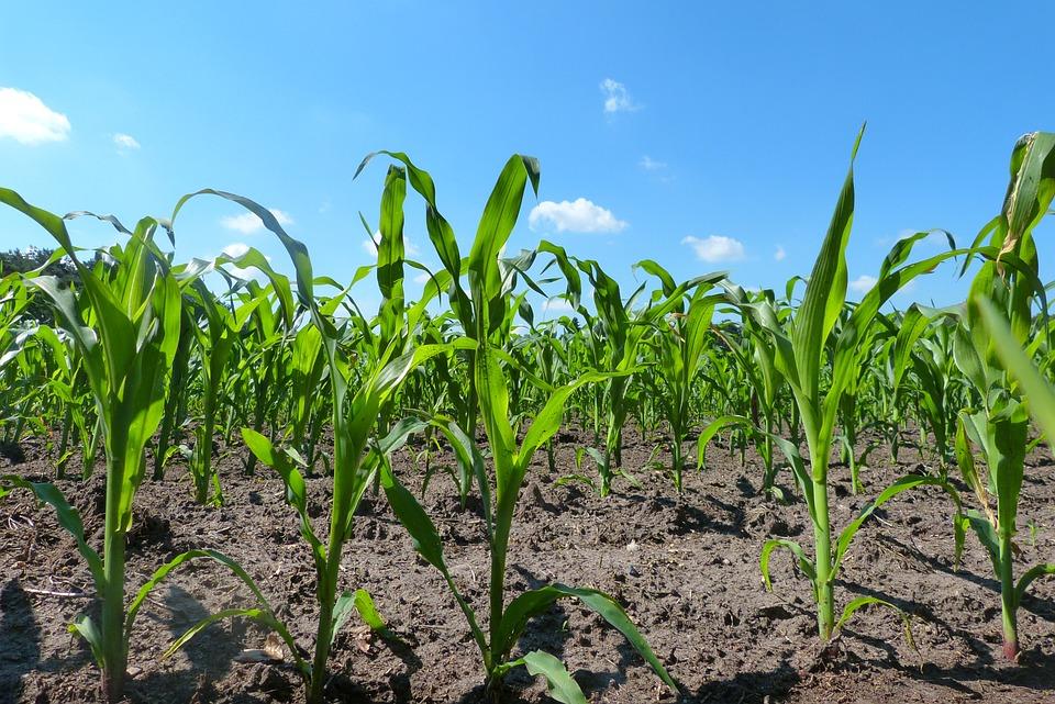 Field, Corn, Young Plants, Cloud, Sky, Blue