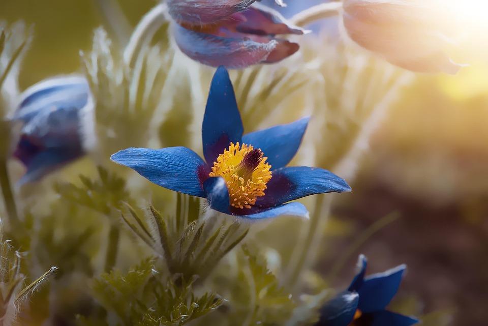 Spring, Spring Flower, Garden, Anemone, Blue, Nature