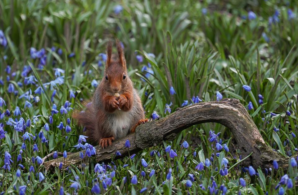 Squirrel, Flowers, Branch, Nut, Spring, Purple, Blue