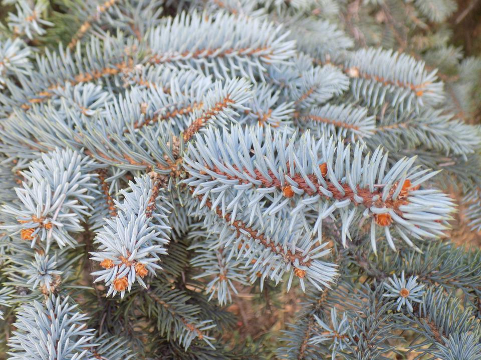 Branch, Blue Spruce, Conifer, Spruce, Needles