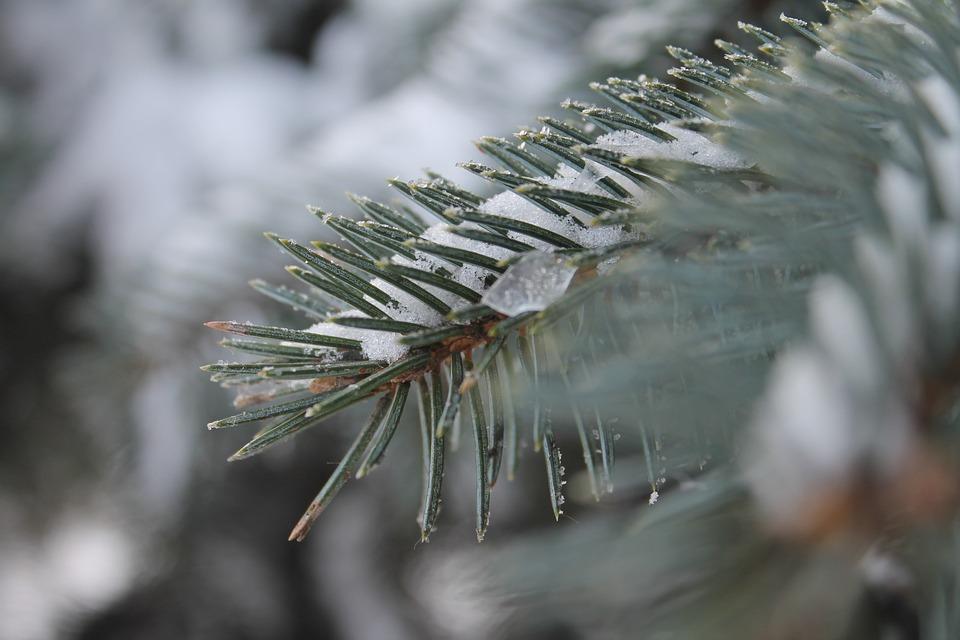 Blue, Spruce, Winter, Snow, Branch, Nature, Tree