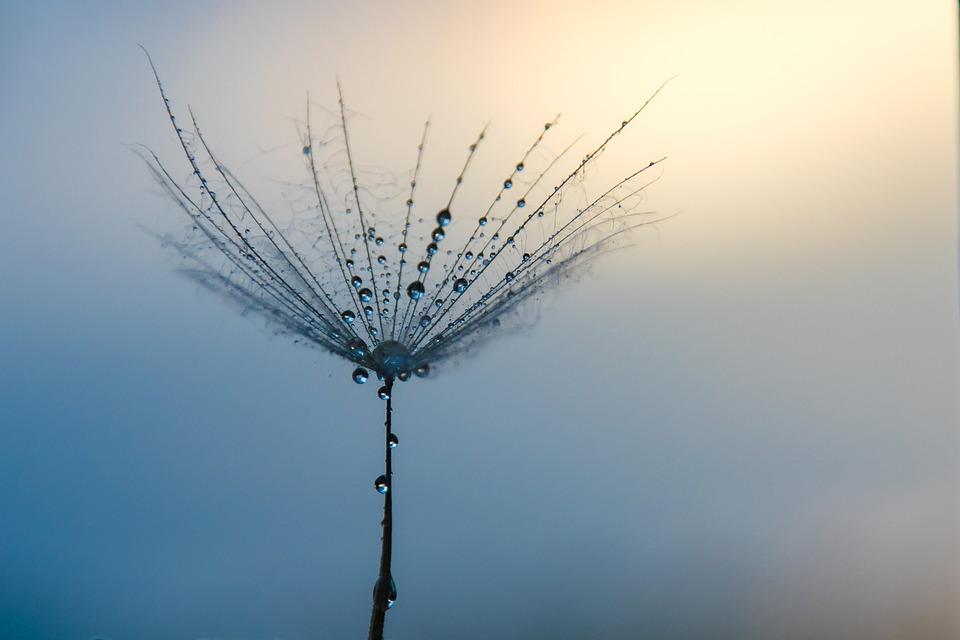 Dandelion, Water Drop, Sunset, Water, Macro, Seed, Blue