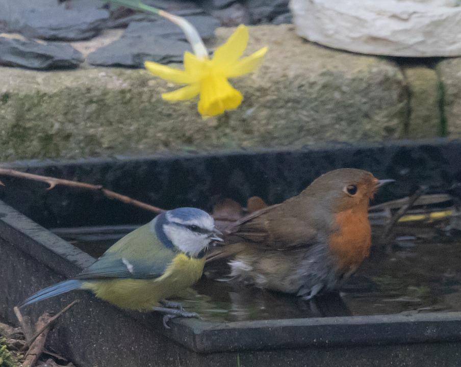 Robin, Blue Tit, Garden, Song Bird, Bath