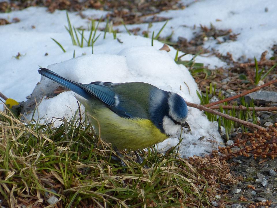 Blue Tit, Tit, Blue, Yellow, Bird, Cyanistes Caeruleus