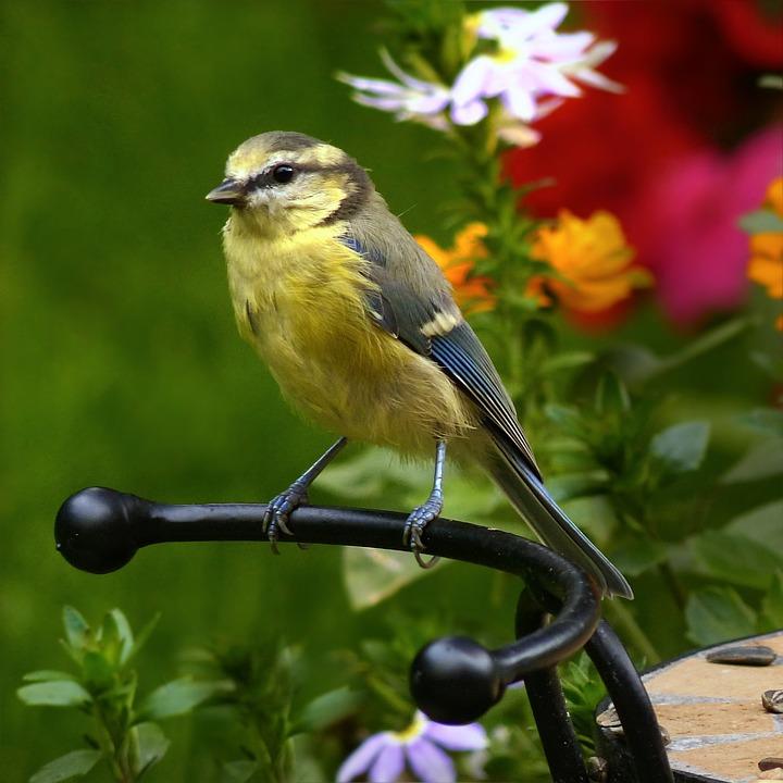 Blue Tit, Cyanistes Caeruleus, Tit, Bird, Young