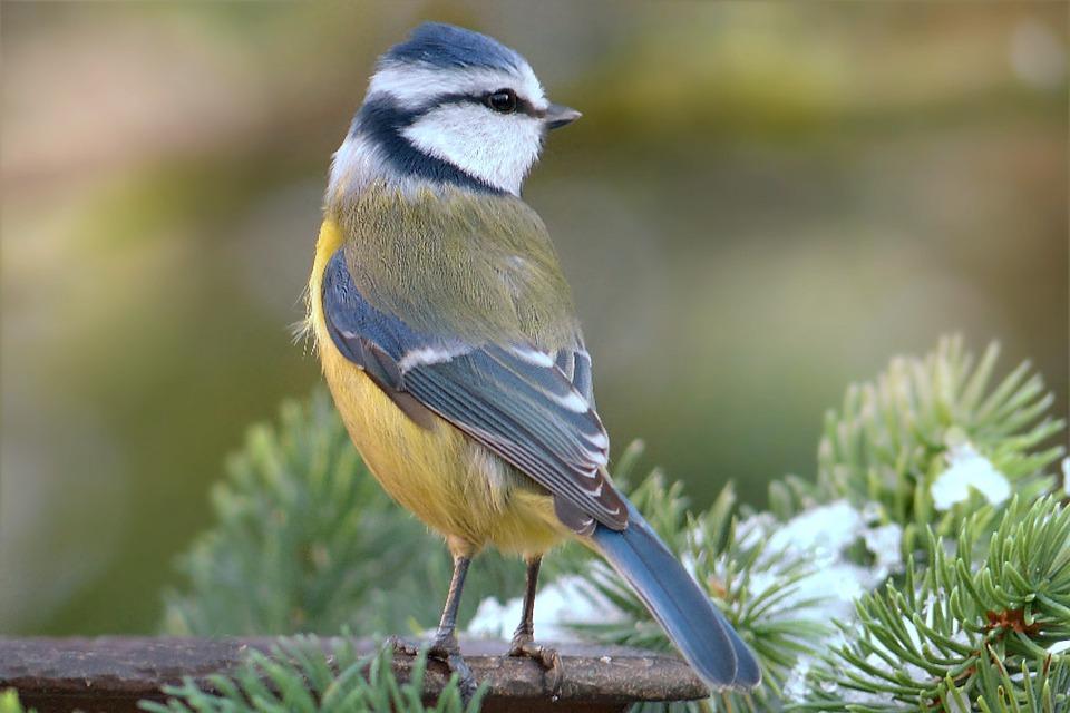 Blue Tit, Cyanistes Caeruleus, Bird, Animal, Winter