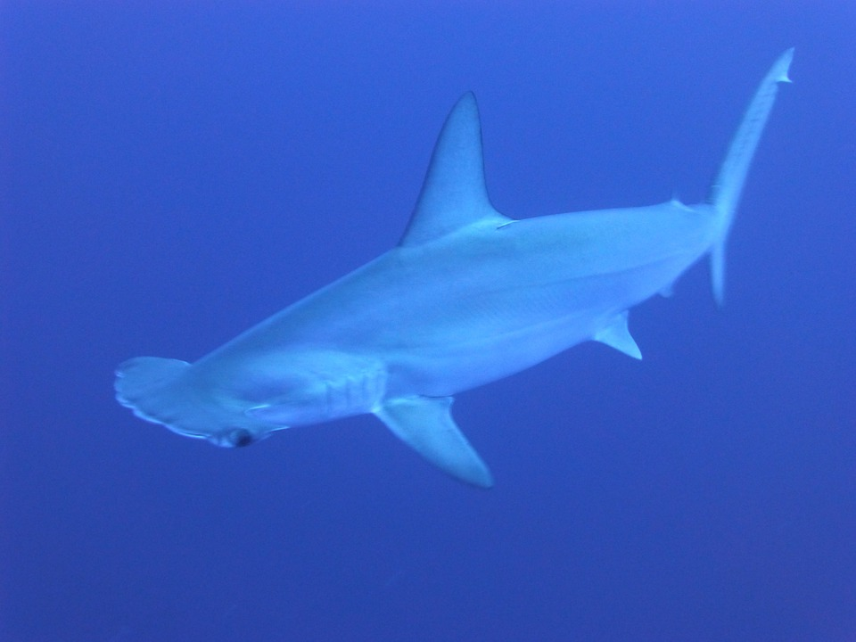 Sharks, Blue, Underwater, Hammerhead Sharks