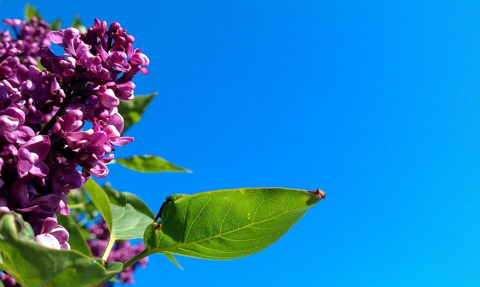 Syringa Vulgaris, Violet, Lilac, Nature, Blue, Sky
