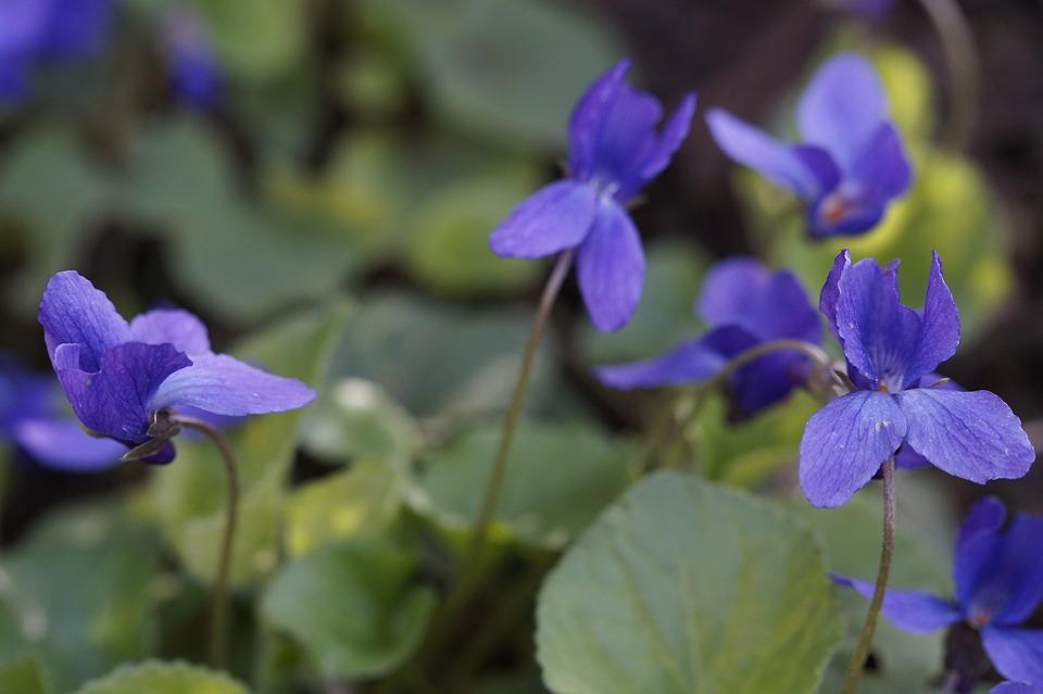 Violet, Flowers, Plant, Violet Plant, Blue Violet