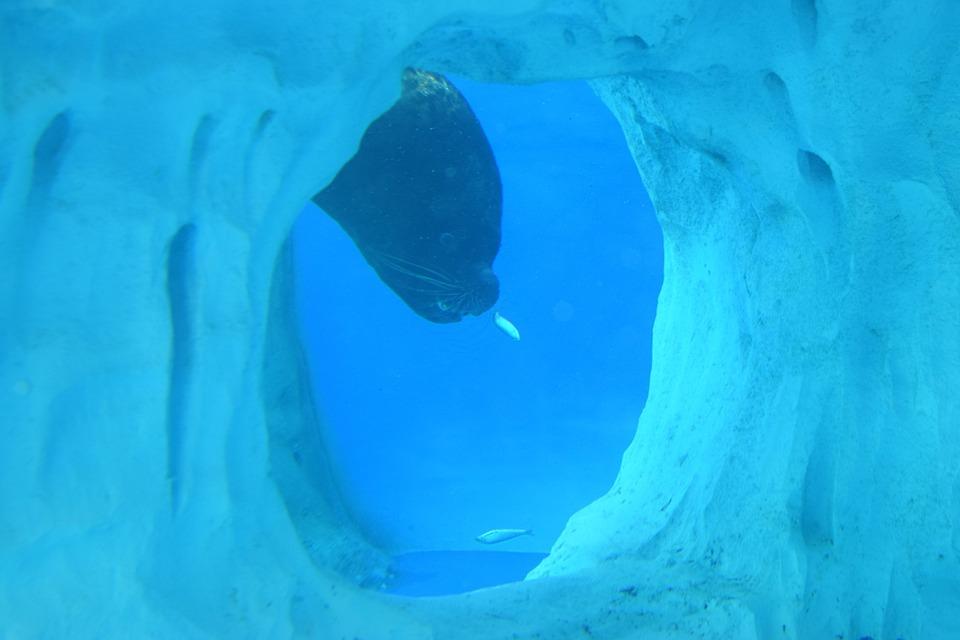 Water, Otaria, Phocas, Animal, Nature, Blue, Ice