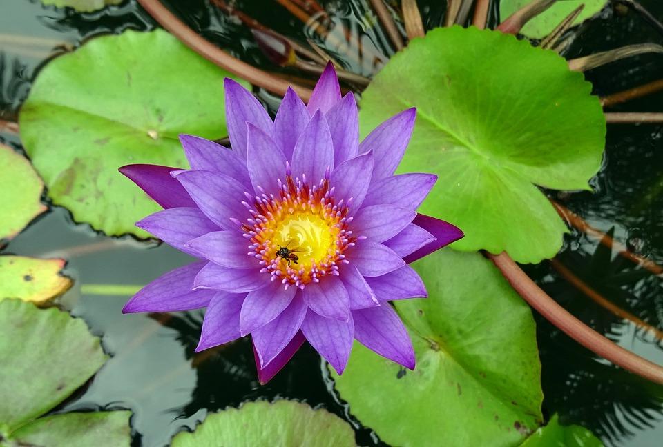 Lily, Flower, Blue Water Lily, Neelkamal, Nil-sapla