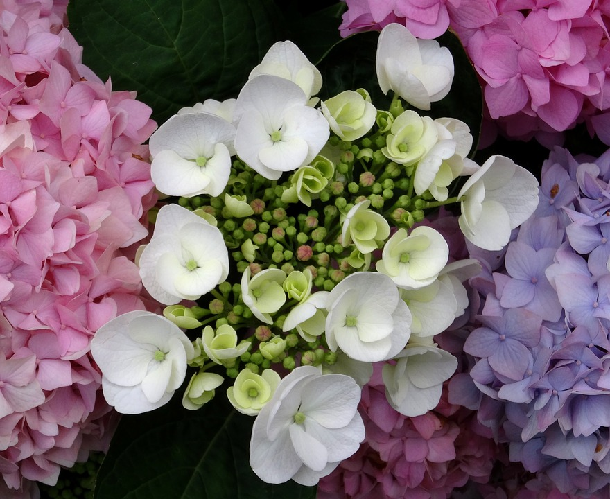 Blossom, Bloom, Hydrangea, Close, White, Blue, Pink