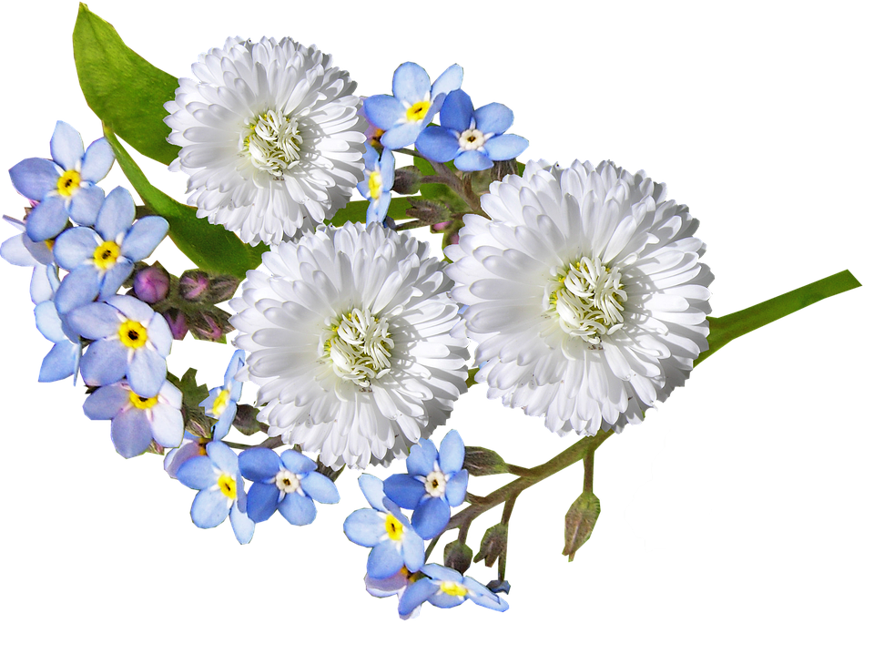 Free Photo Blue White Daisy Flowers Max Pixel