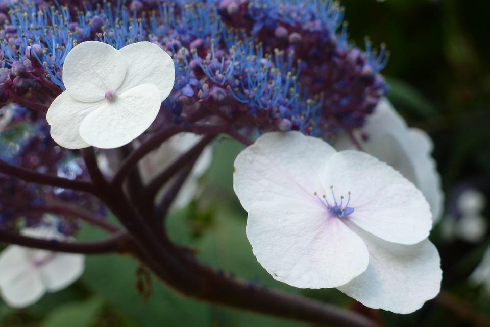 Flower, Plant, Garden, Nature, White, Blue, Lilac