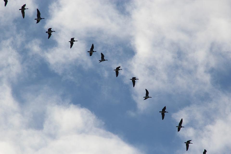 Bird Migration, Migratory Birds, Wild Geese, Blue, Sky