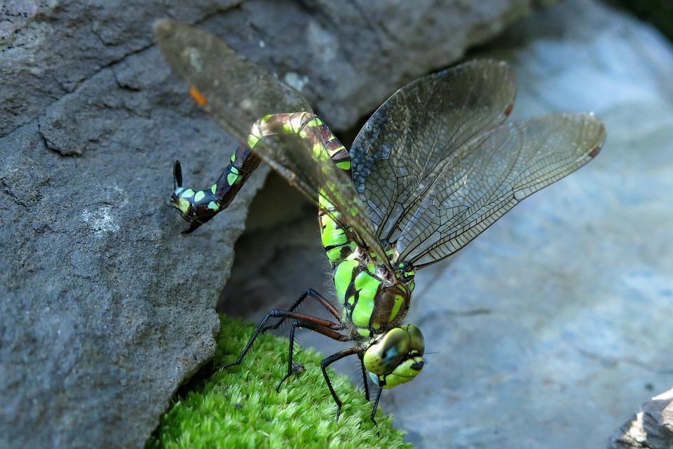 Blue-green Mosaic Bridesmaid, Dragonfly, Flight Insect