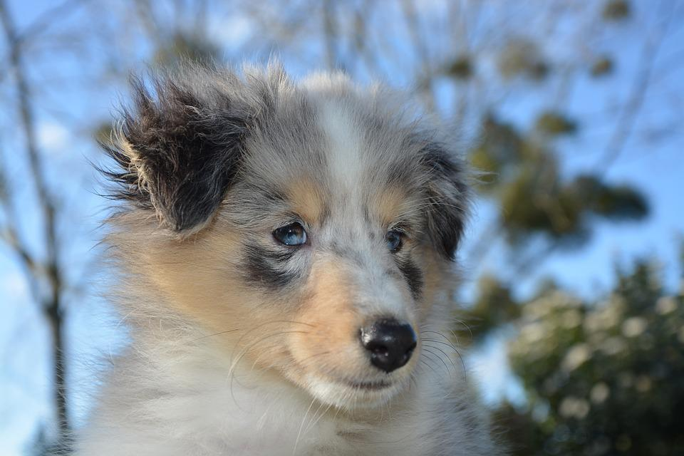 Dog, Puppy, Shetland Sheepdog, Young, Blue-merle
