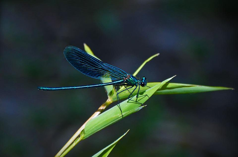 Dragonfly, Blue-winged Demoiselle, Insect, Close, Wing