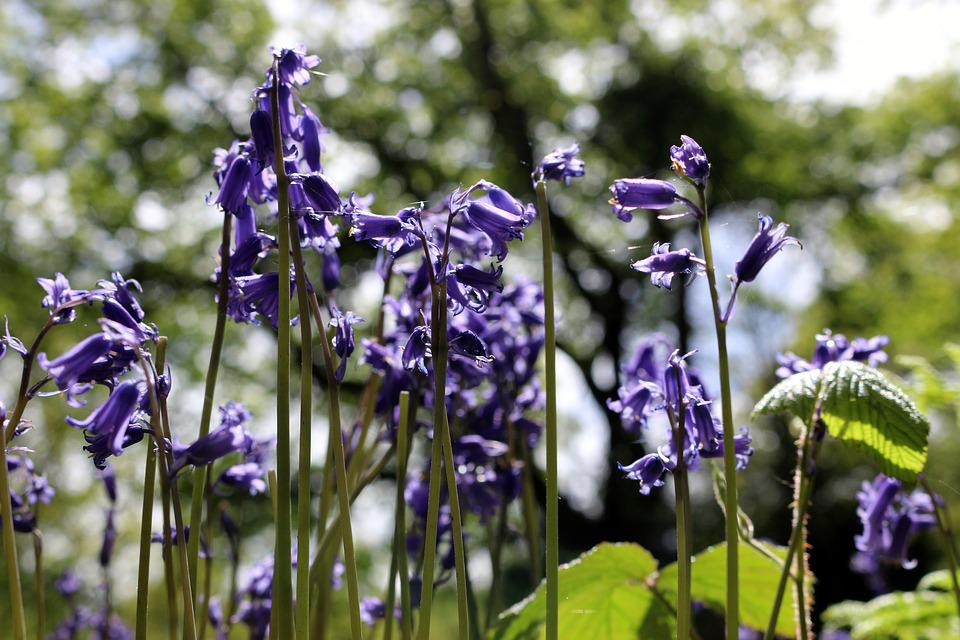 Free Photo Bluebell Spring Nature Forest England Flowers Max Pixel