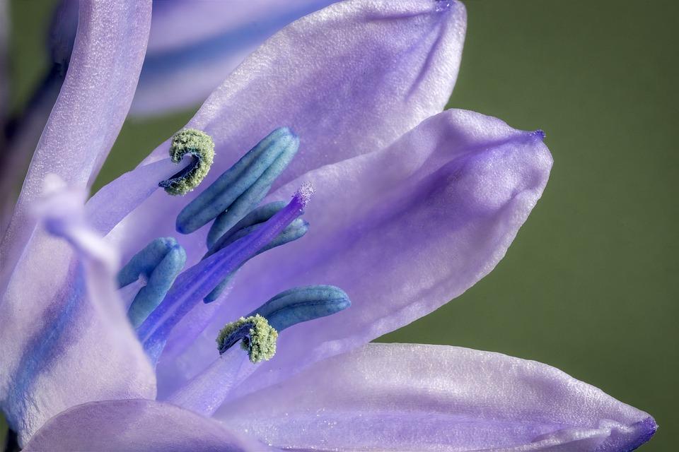 Bluebell, Spanish, Wildflower, Bloom, Spring, Blossom