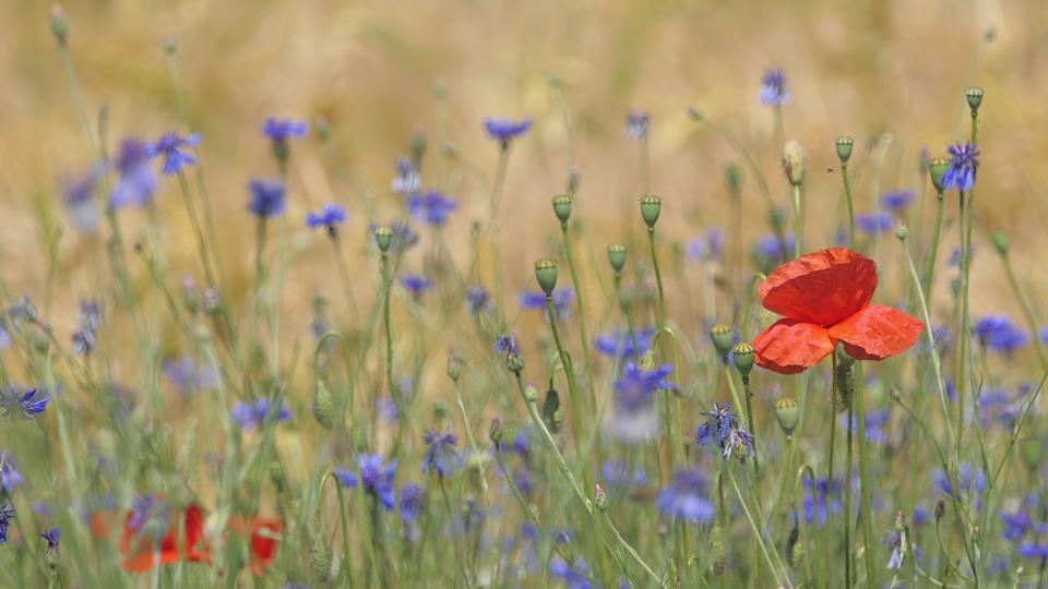 Pre, Prairie, Blueberries, Poppy, Flower, Nature