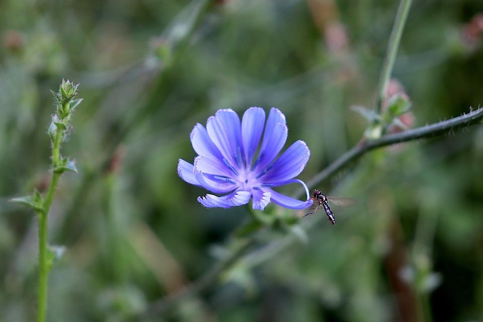 Blueberry, Flowers, Fleurs Des Champs, Color Blue