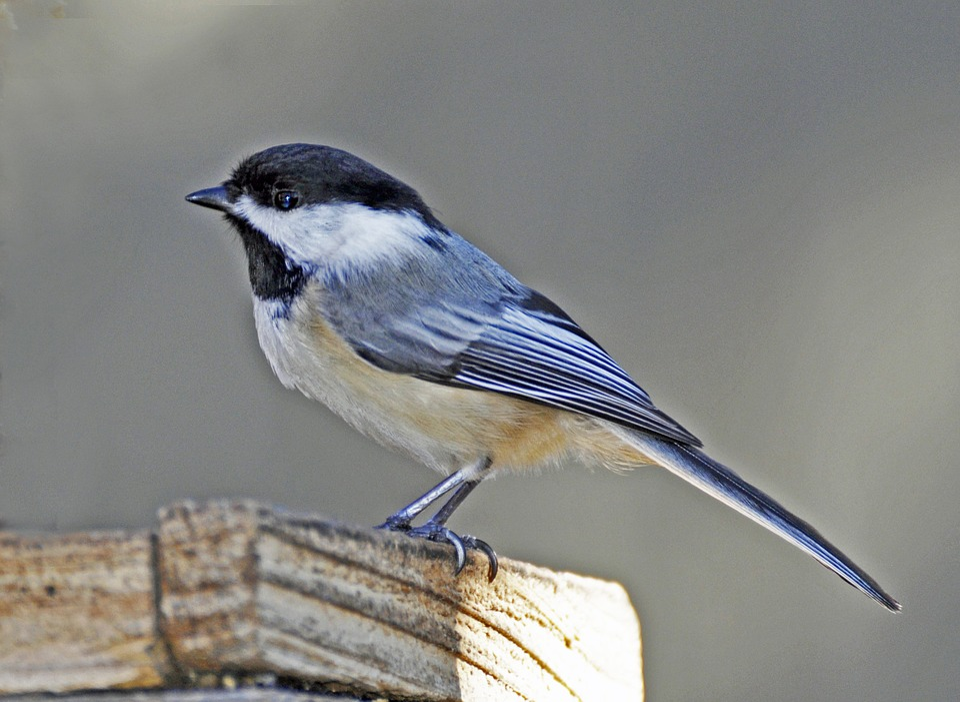 Bluebird, Bird, Spring, Fence